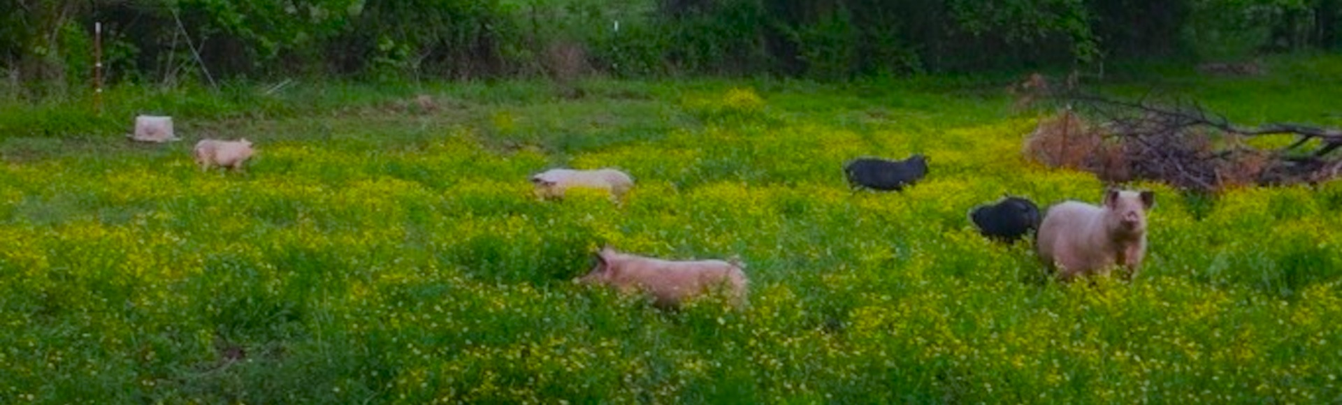 Pigs raised on grass and mud