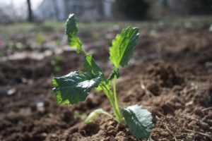 Baby lacinato kale in the garden